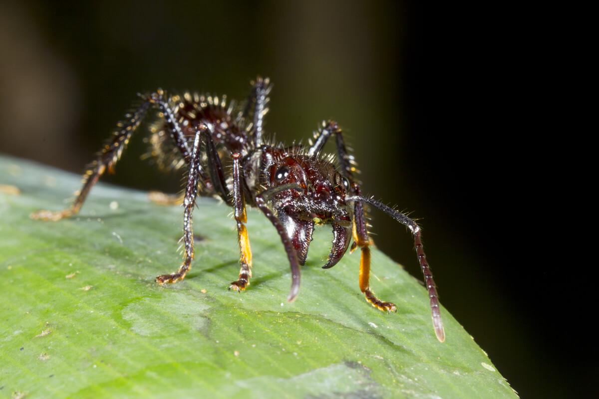 Las hormigas soldado tienen potentes mandíbulas.