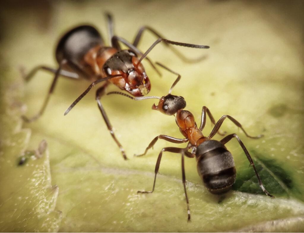 5 curiosidades de las hormigas soldado