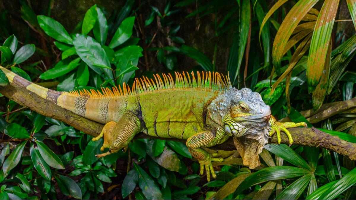 La iguana verde es uno de los reptiles prohibidos como mascotas.