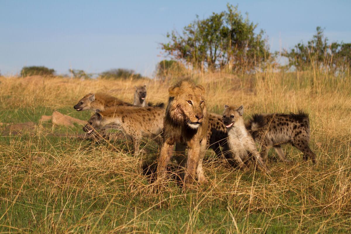Un león se pelea con unas hienas.