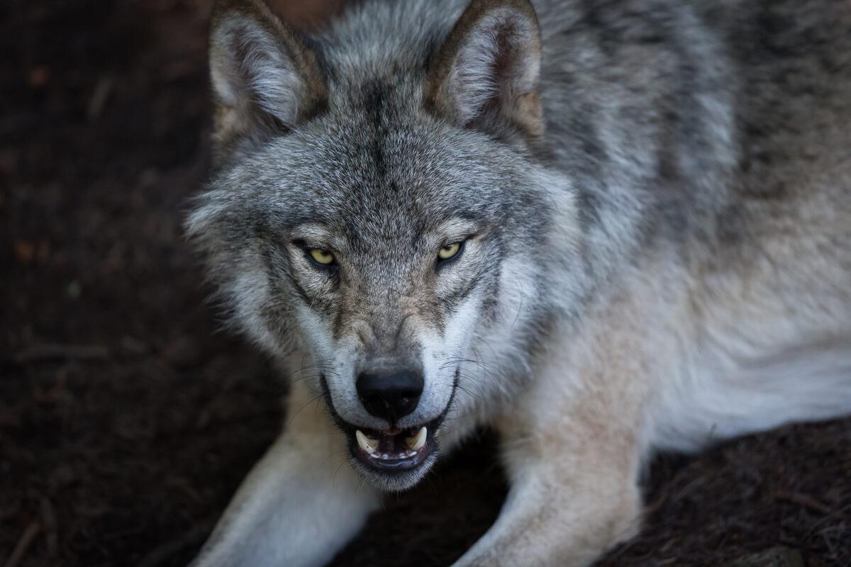 Un ejemplo de comportamiento agonístico en el lobo.