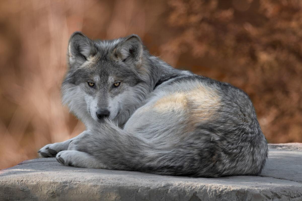 Fin a la protección de los lobos.