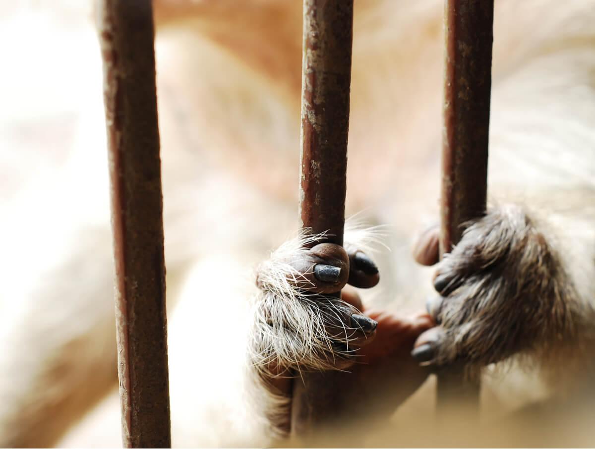 Las manos de un mono enjaulado.