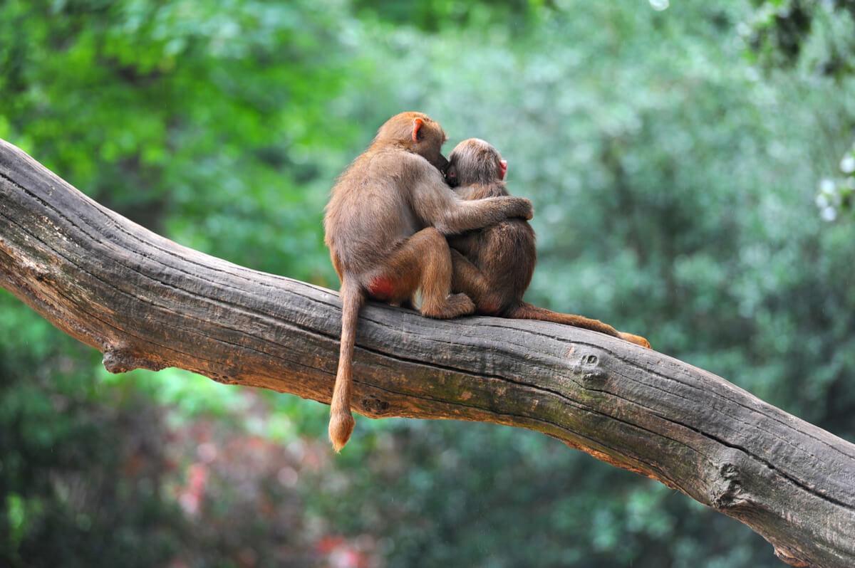 Verhalten von Primaten - Affen umarmen sich.