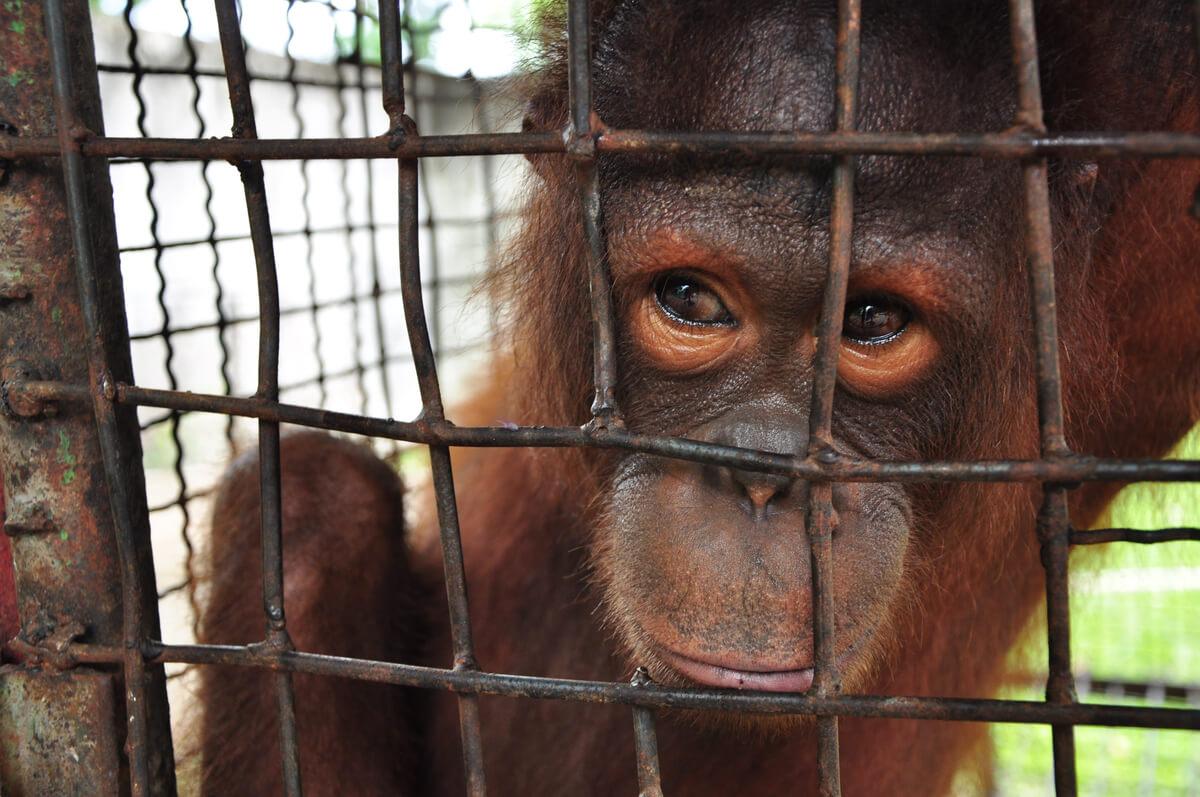 Los monos son animales que pueden deprimirse.