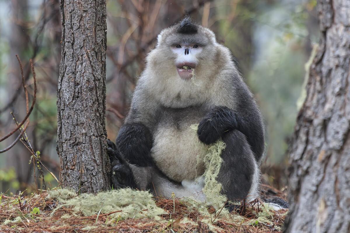 Un mono dorado que come musgo.