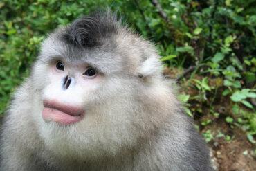 Mono dorado de nariz chata: un simio en peligro
