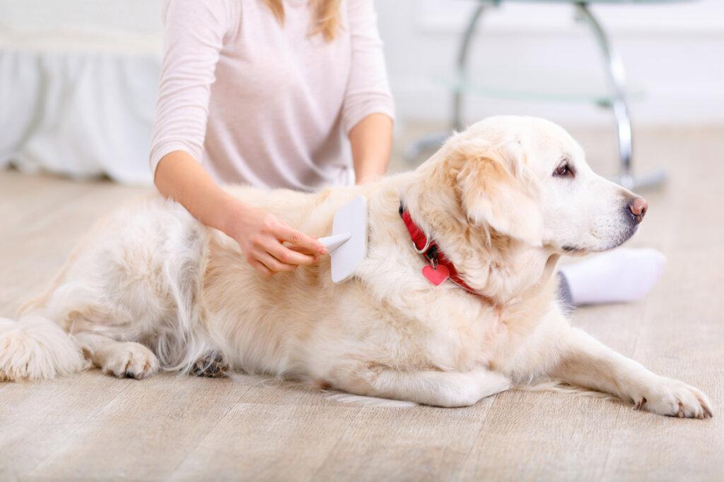 Muda de pelo en perros: ¿cuánto dura?