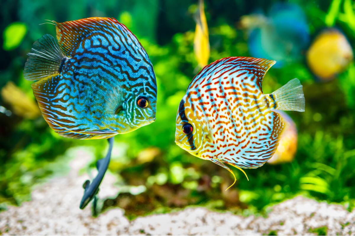 Unos peces disco.