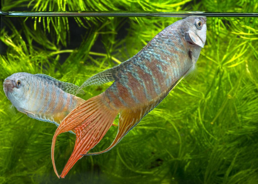 6 animales que no necesitan un filtro en su pecera