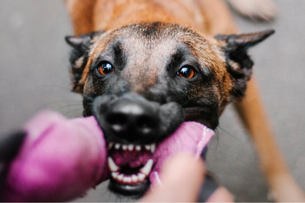 Agresividad en perros y genética: ¿están relacionadas?