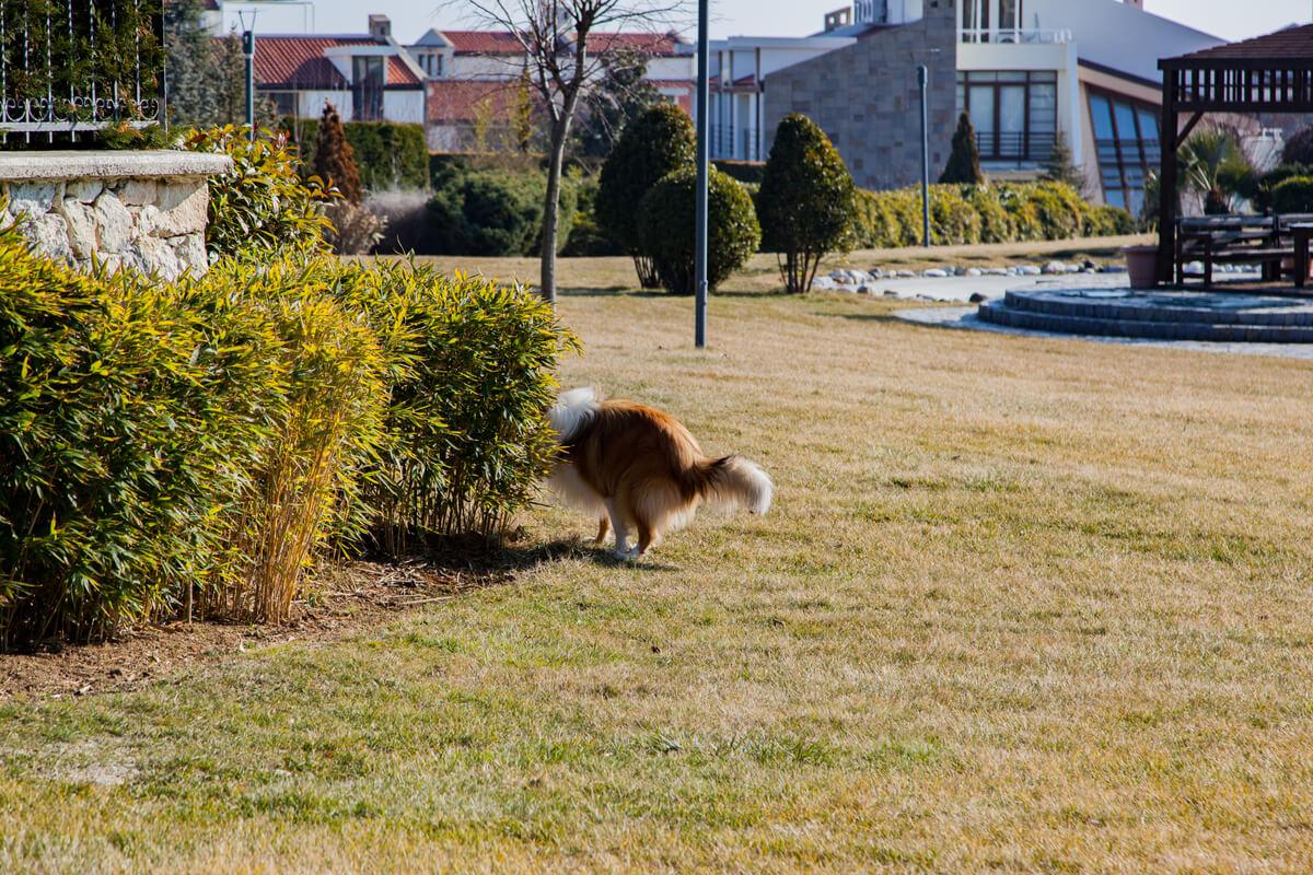 Un perro hace caca detrás de un seto.