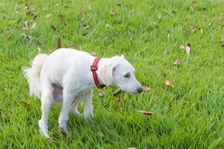 ¿Cuál debe ser la alimentación en perros con diarrea?