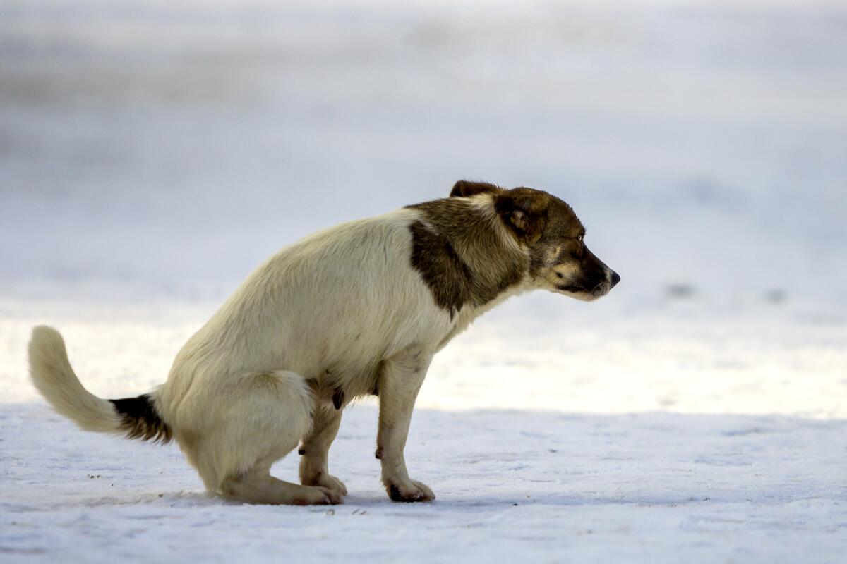 Un perro con diarrea en la nieve.