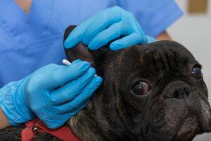 ¿Cuáles son las causas de la otitis en perros?