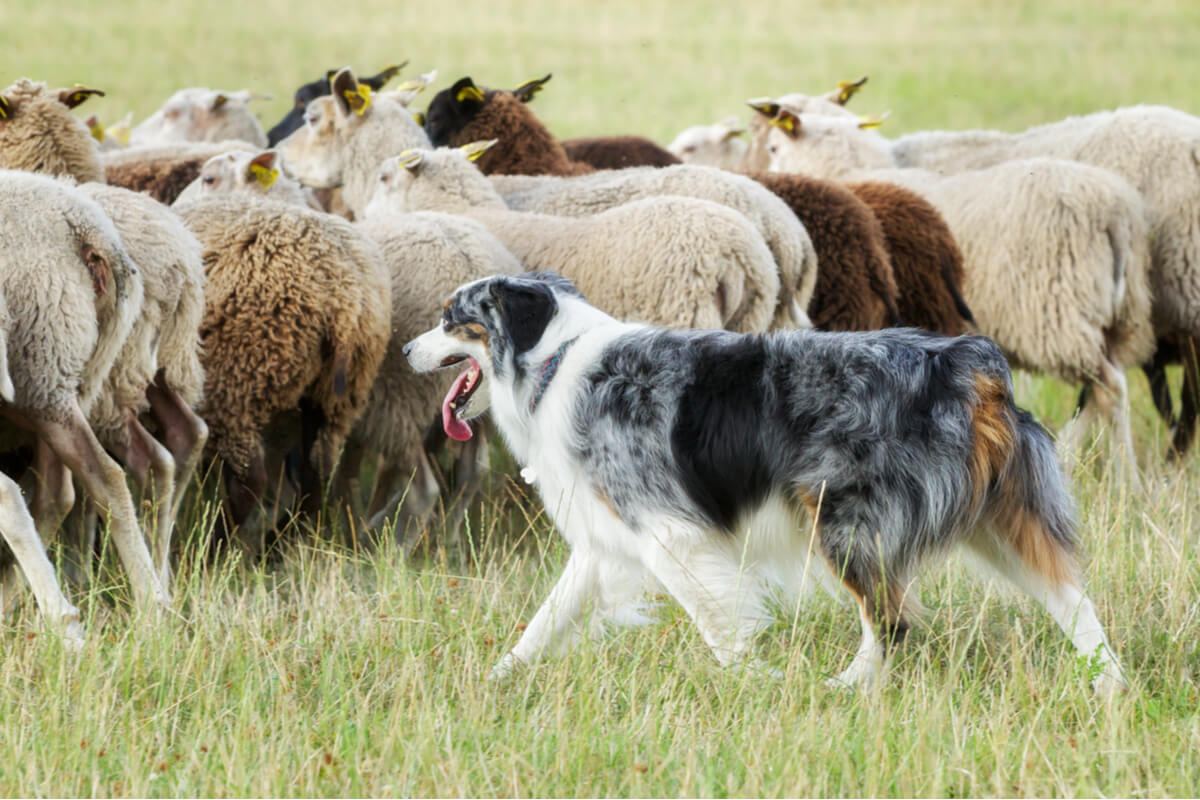 La hidatidosis afecta mayoritariamente a las ovejas.