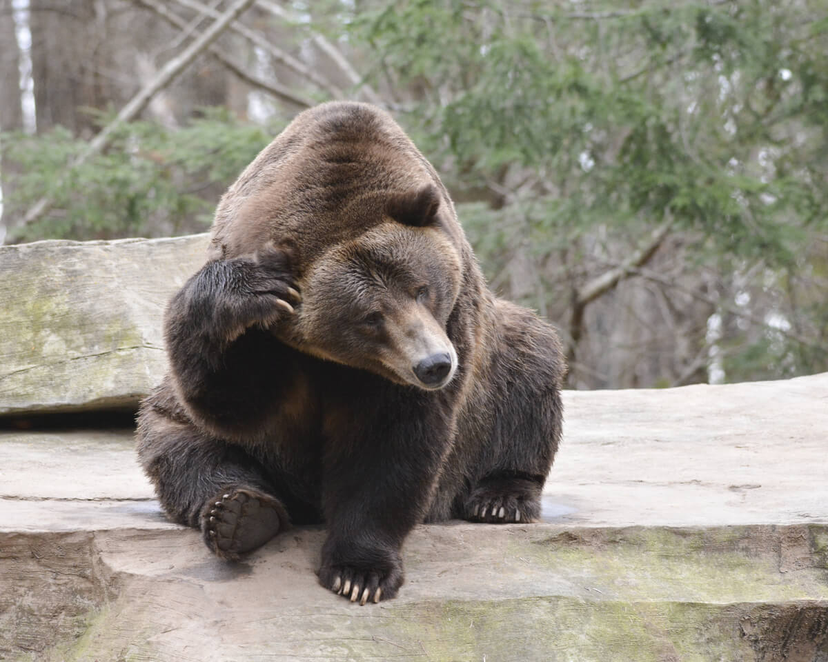 Un oso que se rasca la cara.