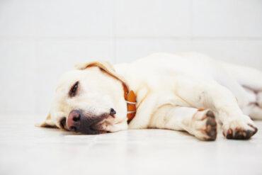 Cáncer de mama en perros: ¿cuáles son las causas?