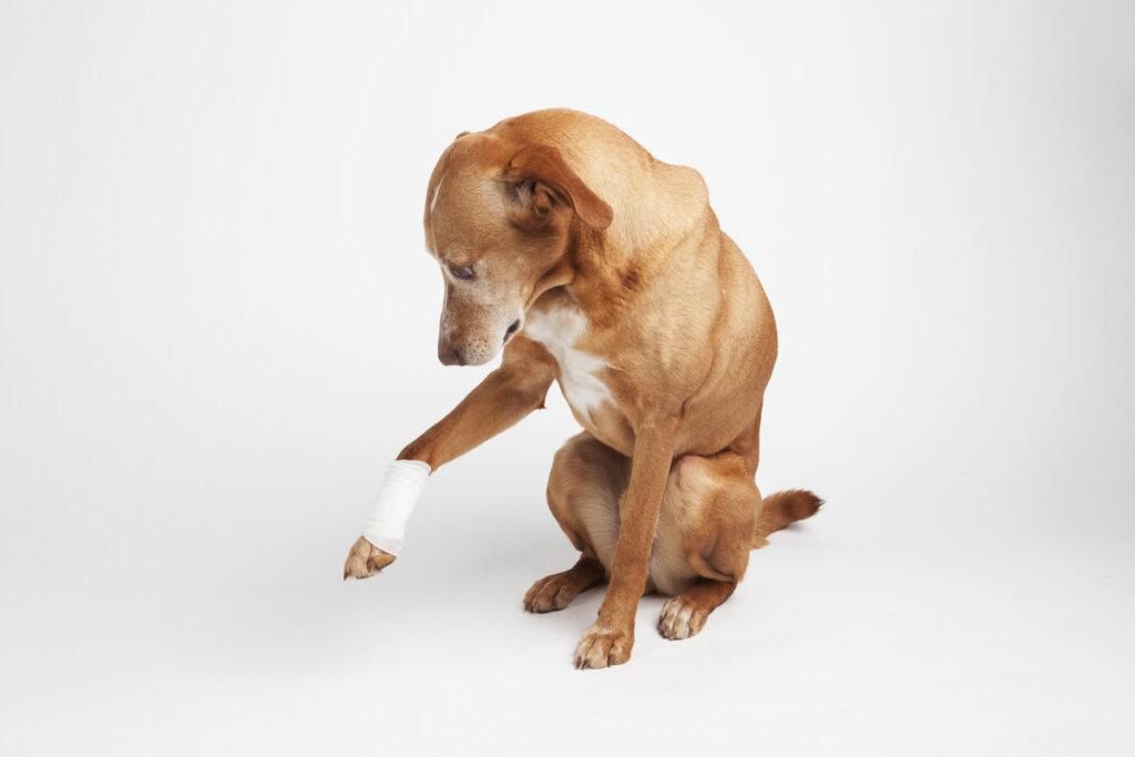 Abscesos en perros: ¿cómo tratarlos?
