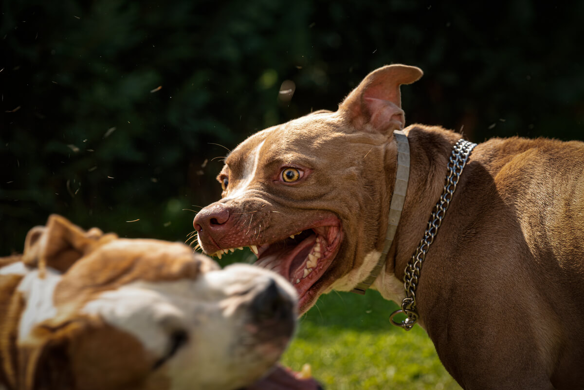 La agresividad es uno de los trastornos de la conducta en perros.