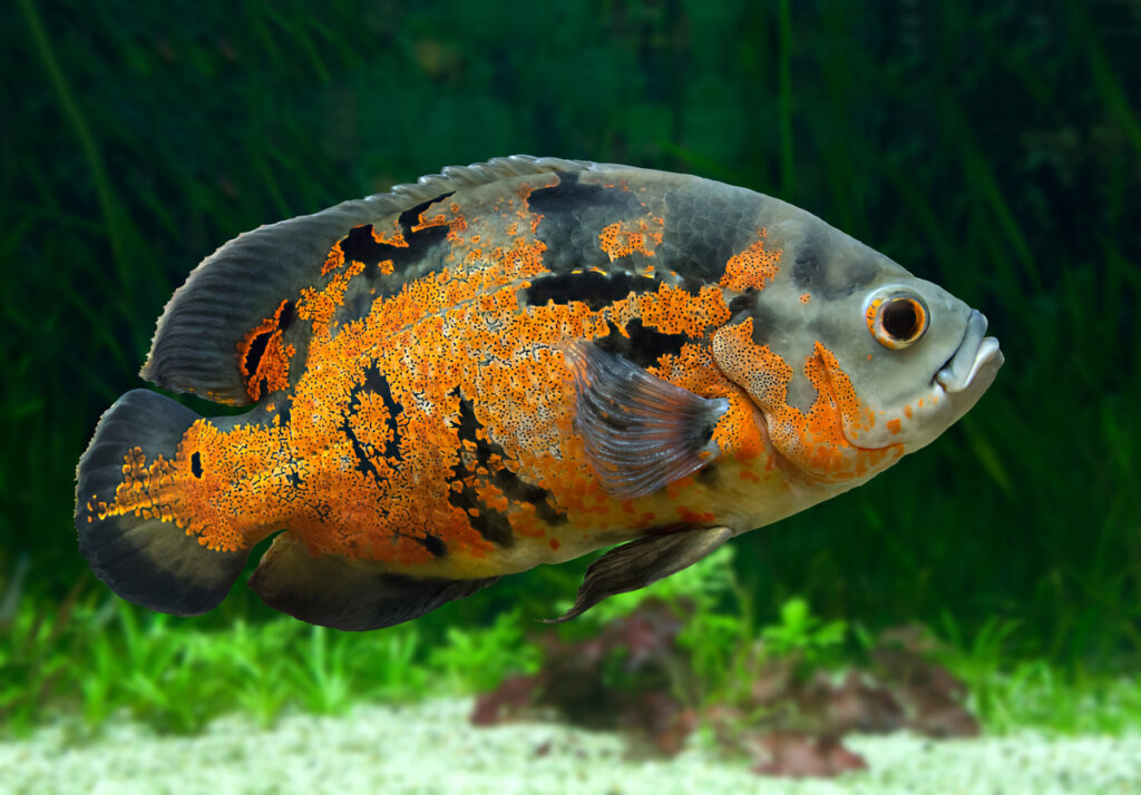 7 peces de agua dulce incompatibles en tu acuario