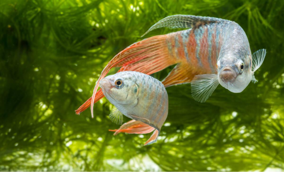 El pez paraíso es uno de los animales que no necesitan filtro.