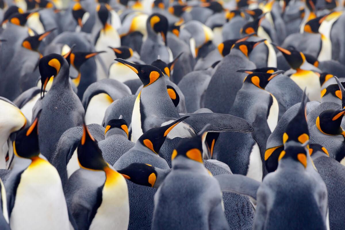 Una población de pingüinos reales.