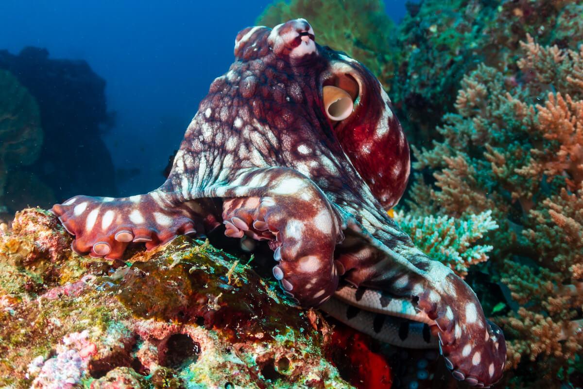 Une pieuvre commune.