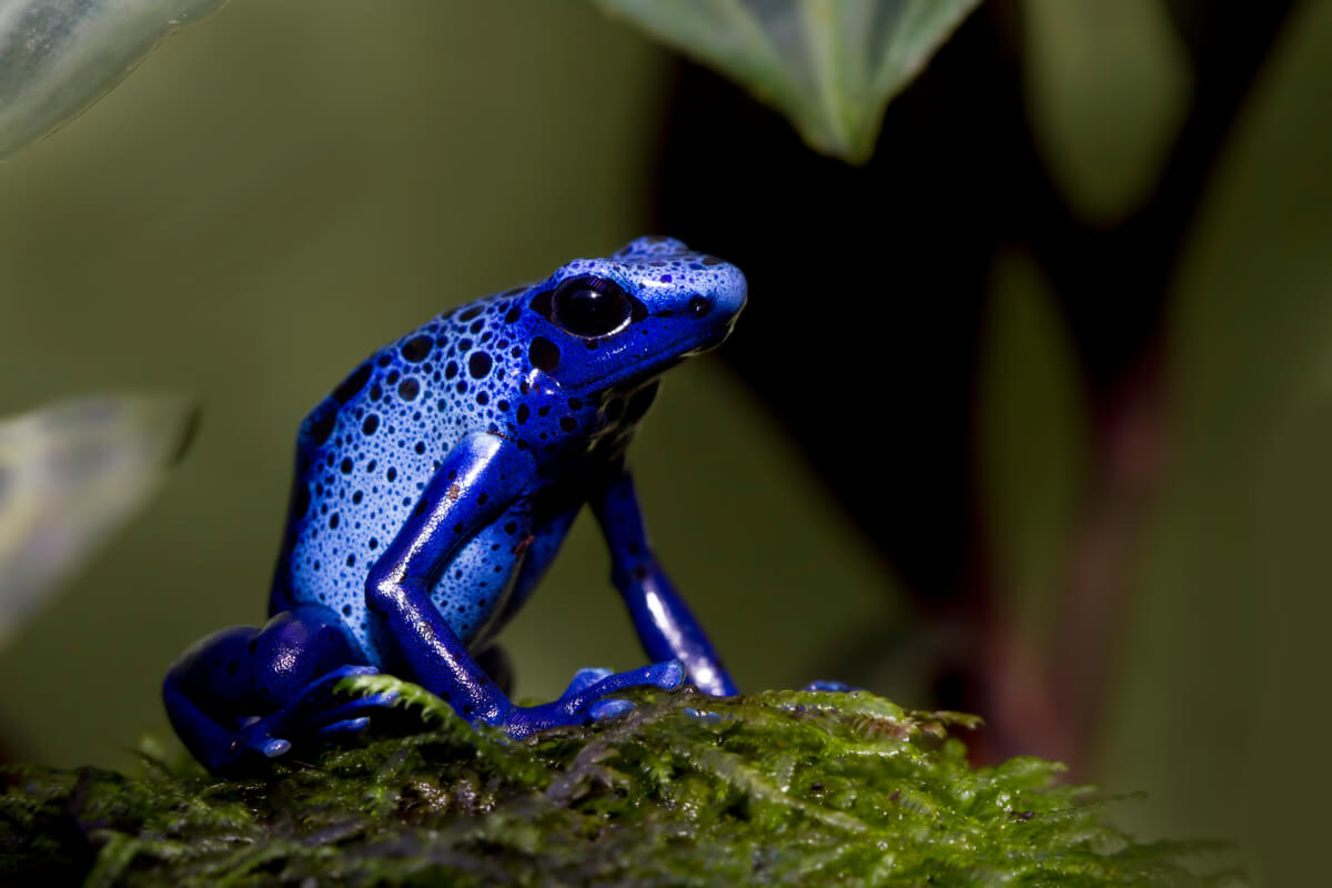 Una rana dendrobates sobre una rama.