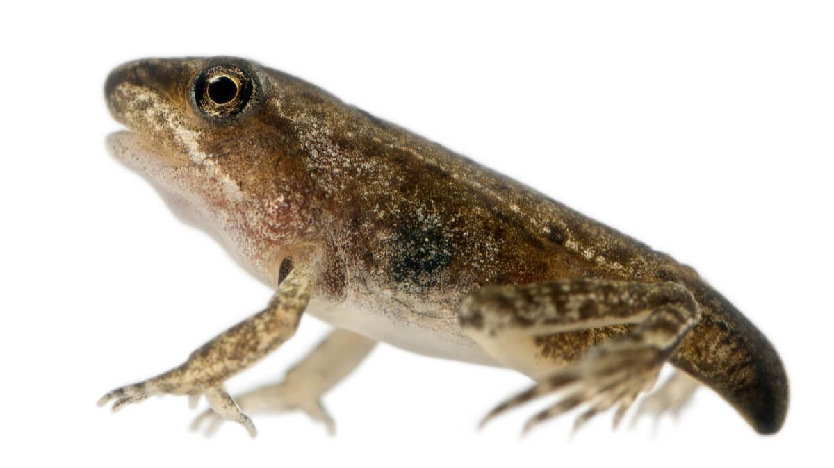 Una rana que casi ha terminado la metamorfosis.