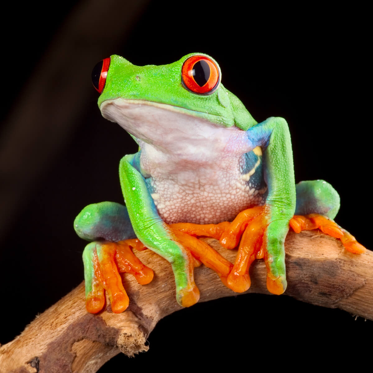Une grenouille sur une branche.