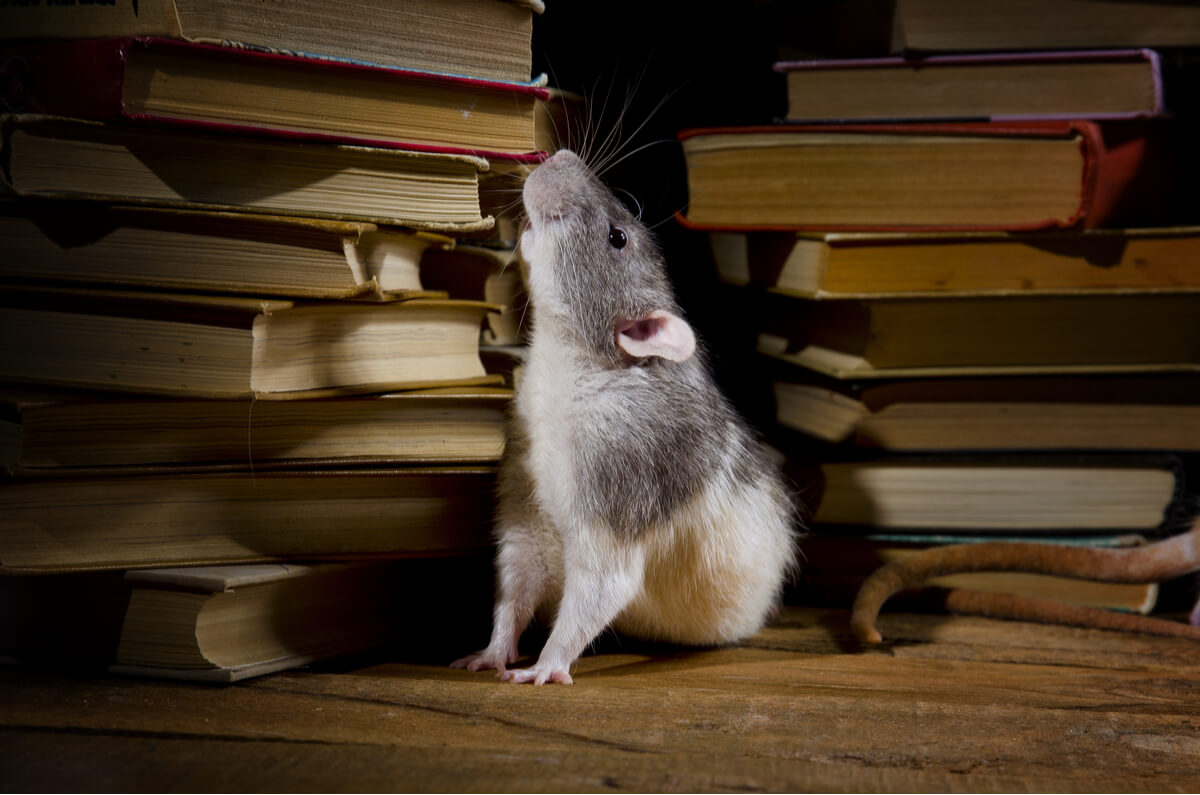 Les rats sont des animaux qui vivent cachés dans votre maison.