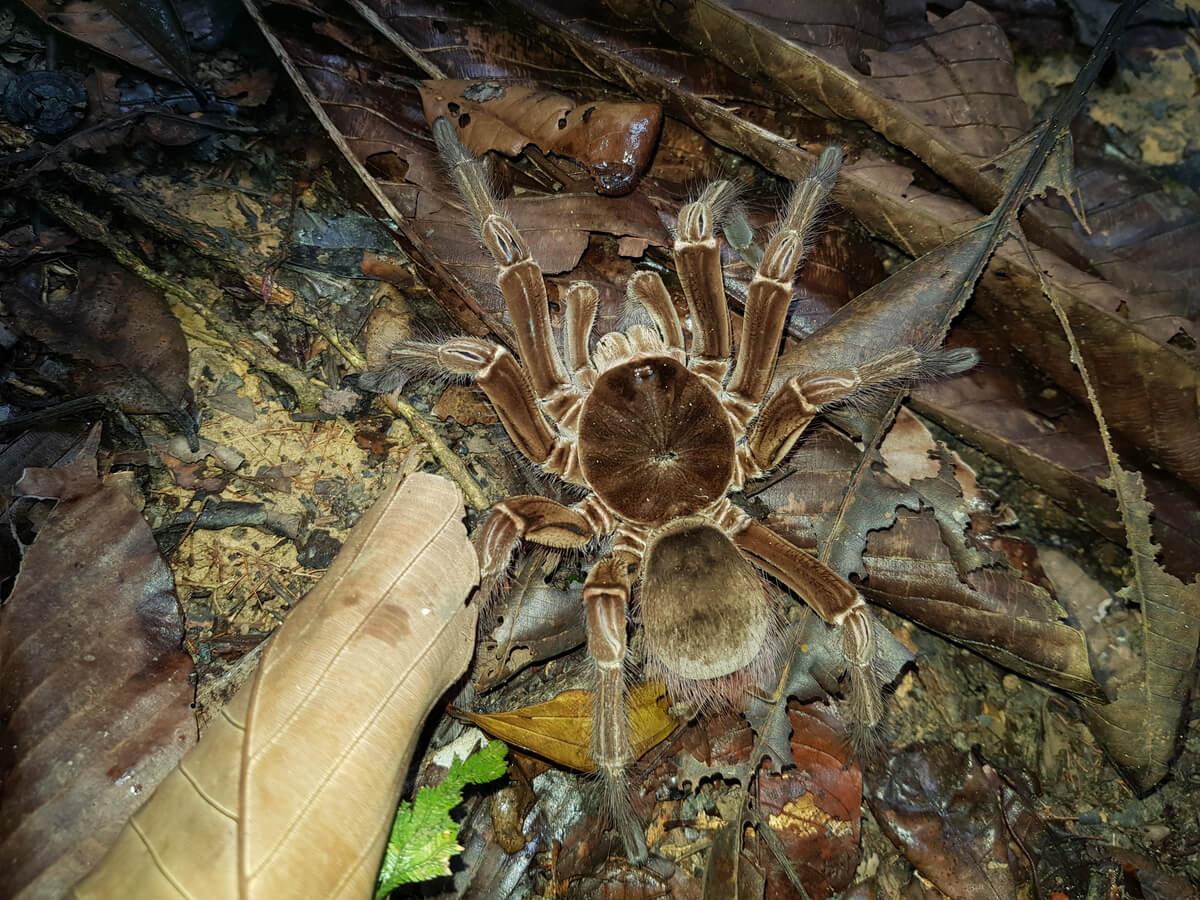 A giant tarantula.
