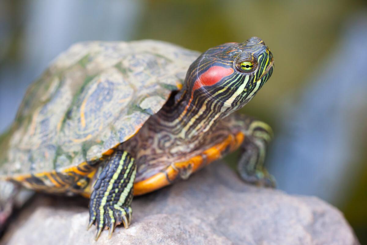 Una tortuga de Florida sobre una roca.