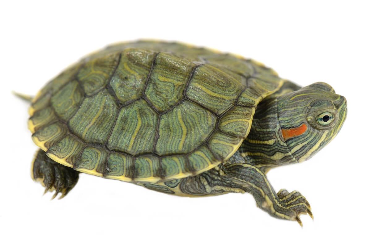 La tortuga de orejas rojas es uno de los reptiles prohibidos.