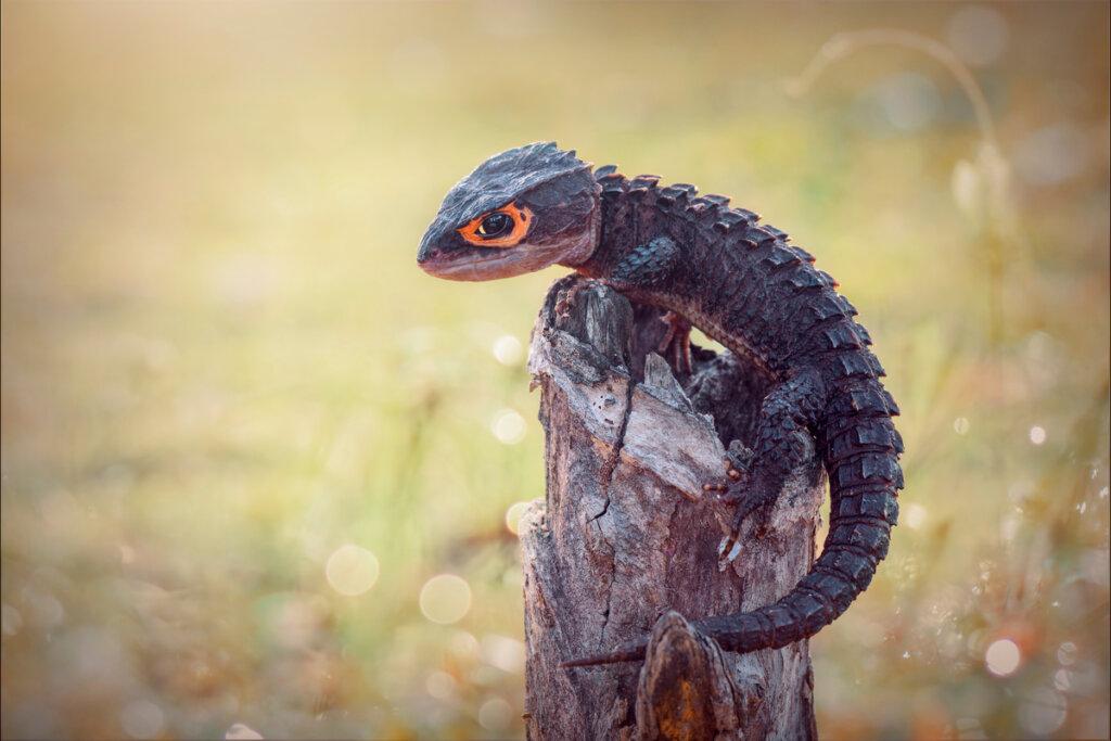 Escinco cocodrilo (Tribolonotus gracilis): cuidados en cautiverio