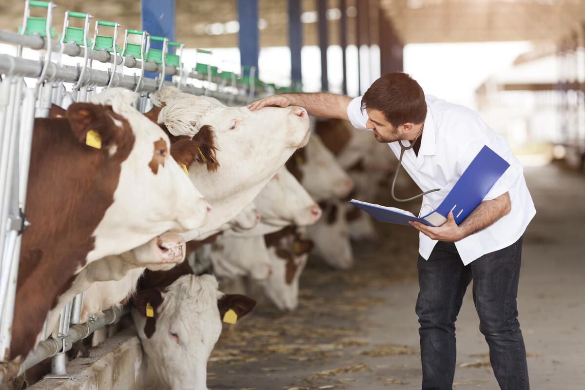 Las vacas son vías de entrada de fiebre aftosa.