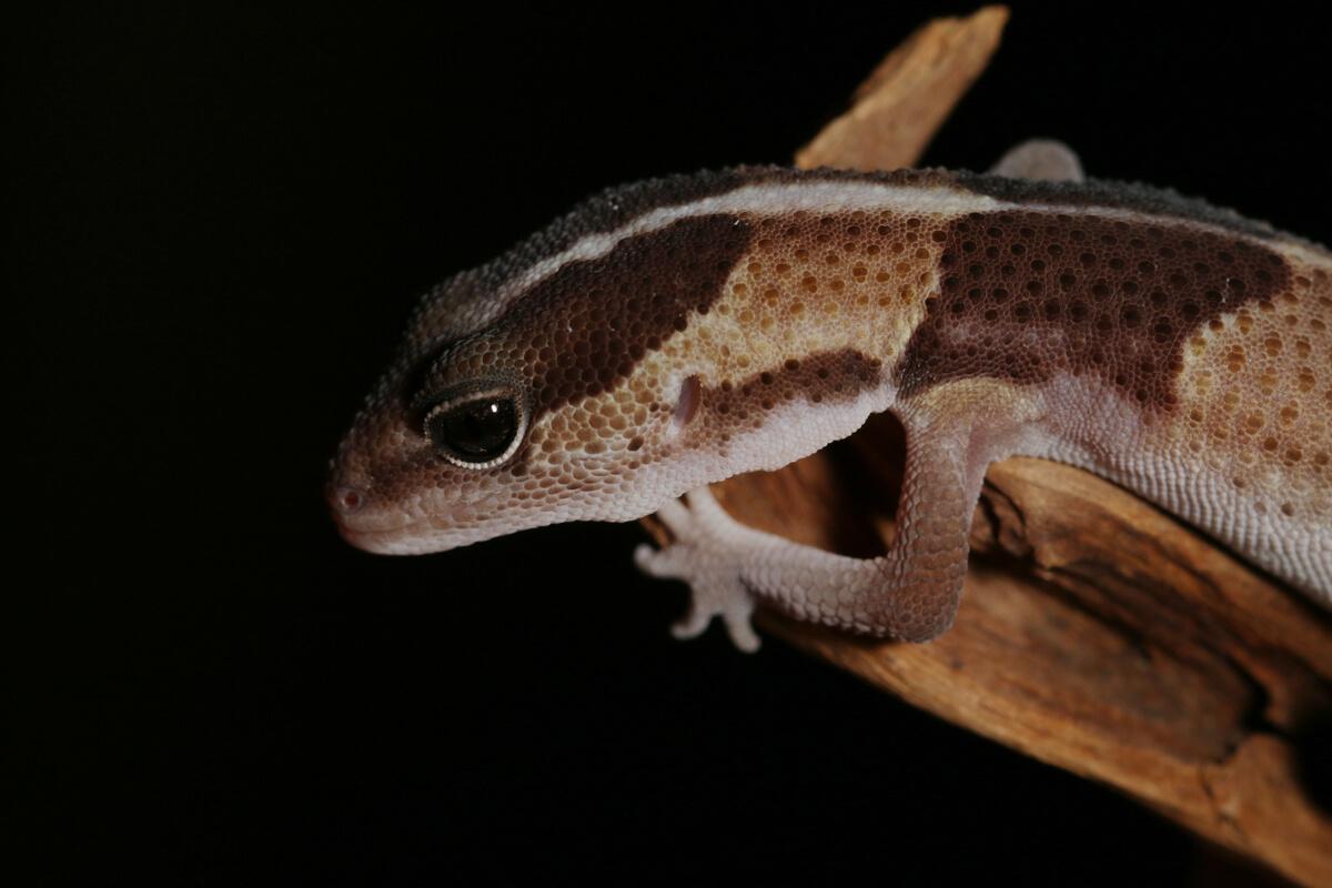 Un zoom en la cabeza de un gecko.