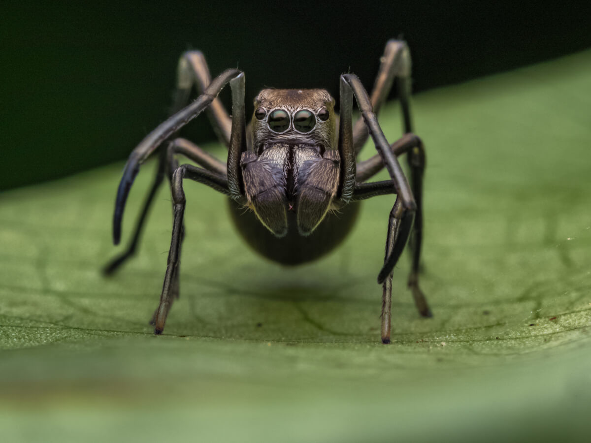 Una araña negra que se parece a una hormiga.