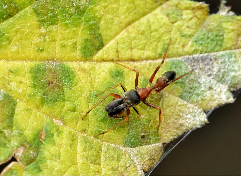 Arañas que parecen hormigas: género Myrmarachne