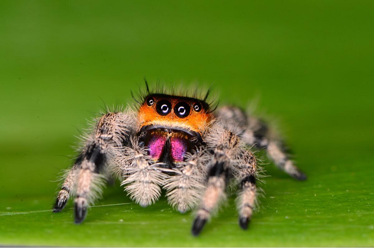 Araña saltadora (Phidippus regius): cuidados en cautiverio