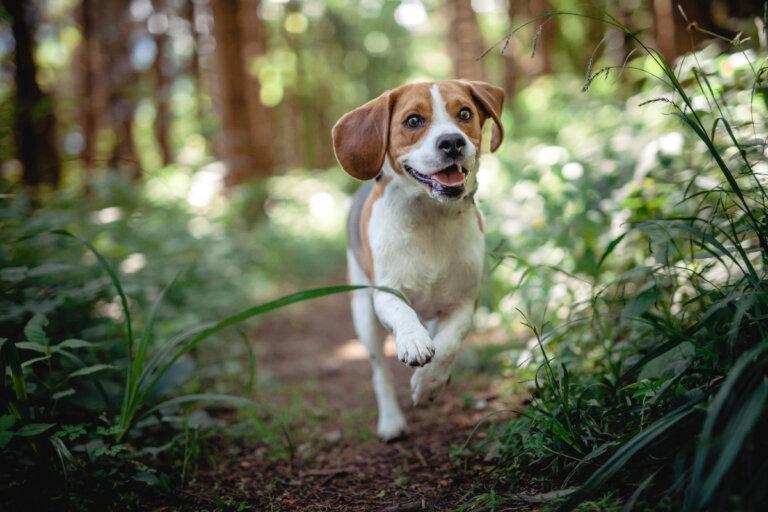¿Cuáles son las enfermedades más comunes en los beagles?
