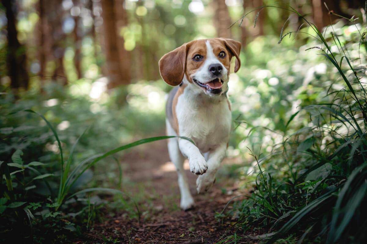 Las enfermedades son comunes en los beagles.