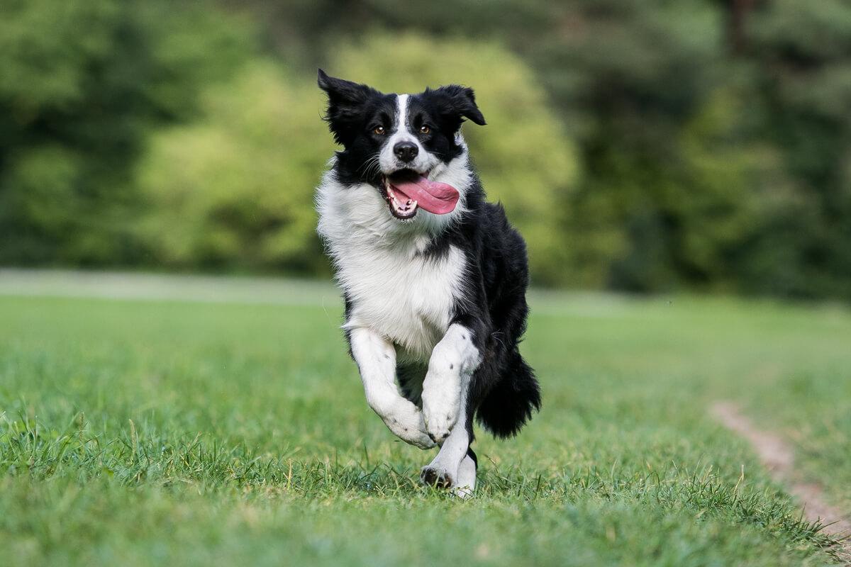 ¿Cuál es la raza de perro más nerviosa?