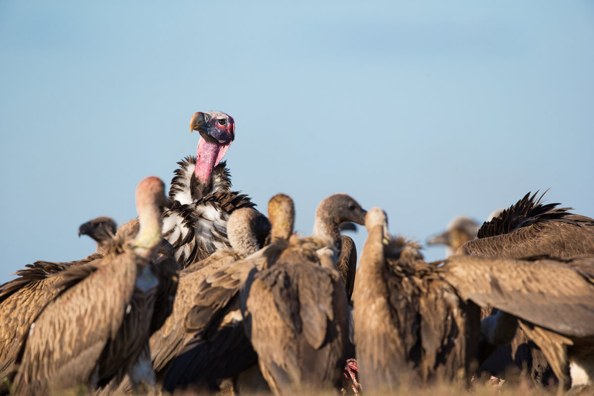 Un buitre orejudo destaca en un grupo de aves carroñeras.