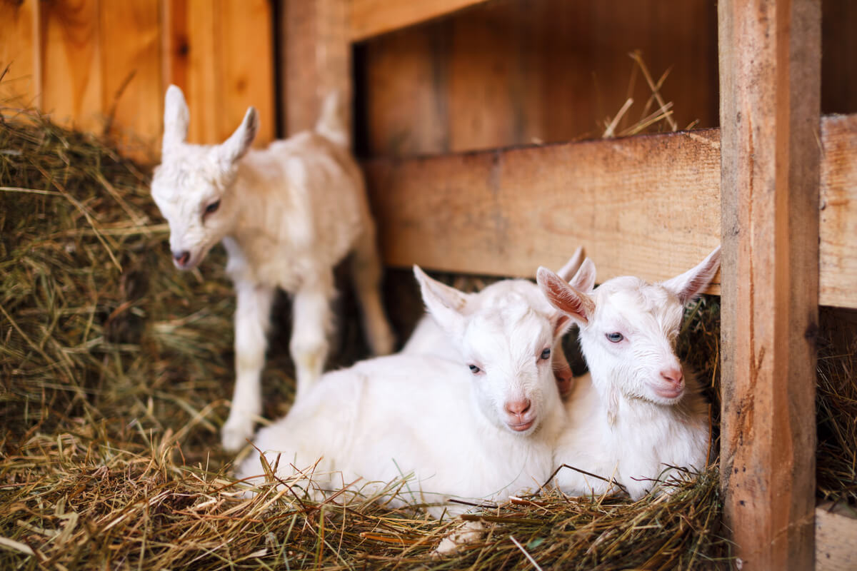 Cabritos en una granja.