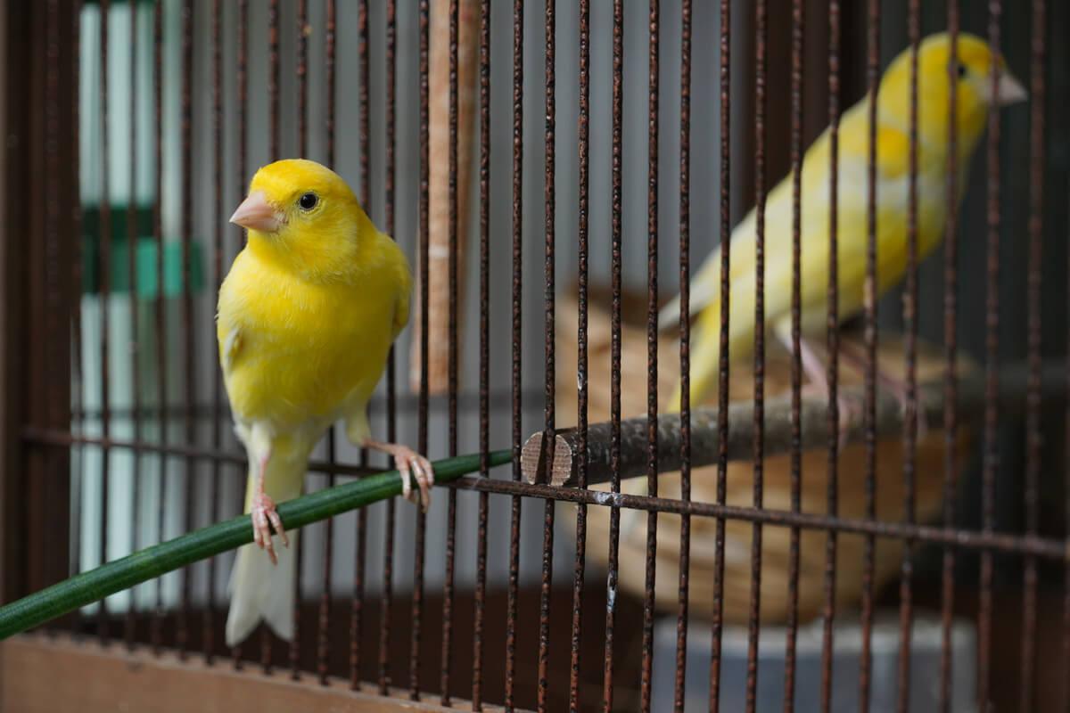 Resfriado en canarios: una afección muy común