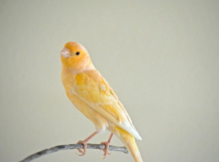 A mi canario se le caen las plumas: ¿por qué?