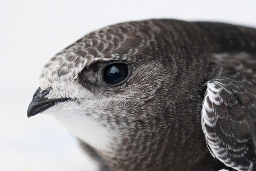 El vencejo común es el ave del año 2021