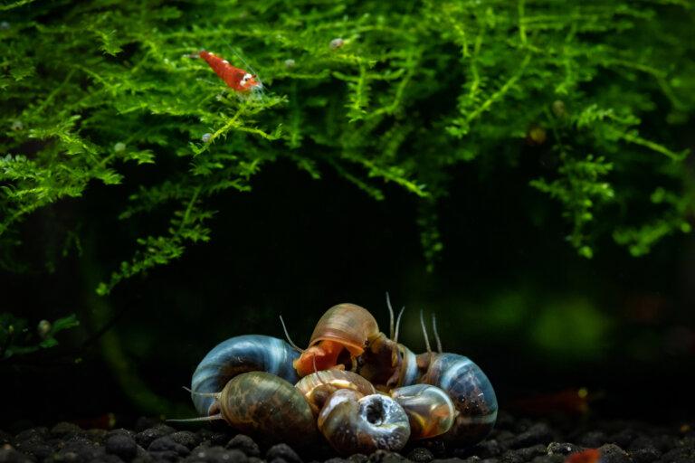5 tipos de caracoles para el acuario